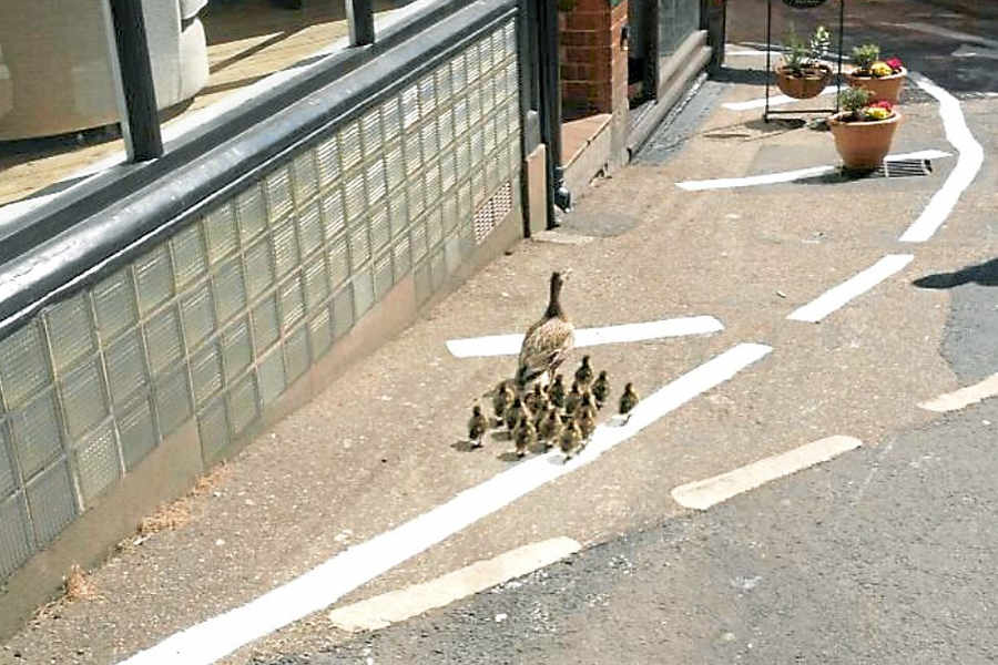 Ducks Waddle through Shrewsbury safely to the Severn